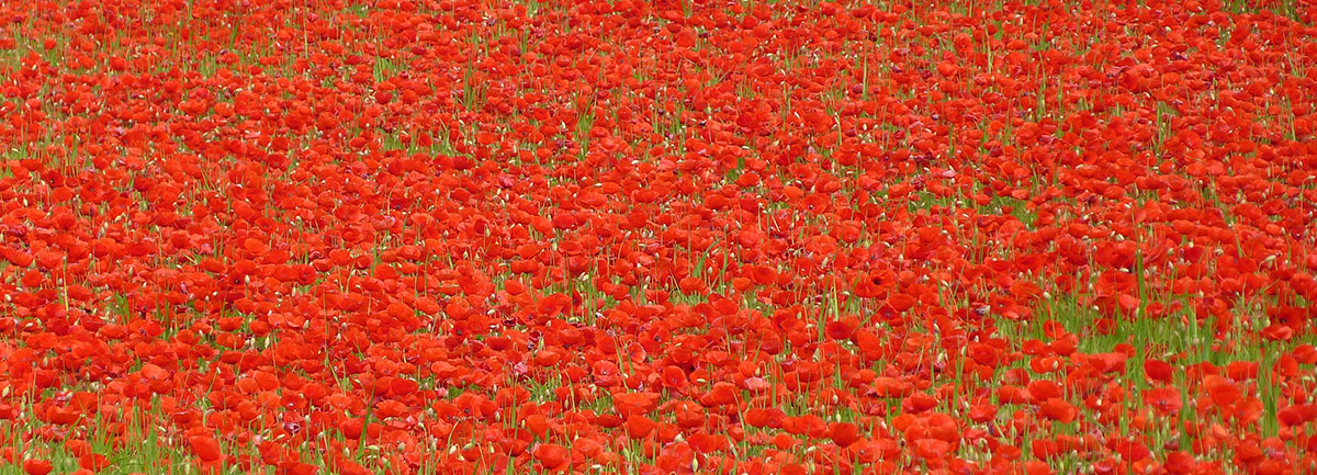 banner coquelicot